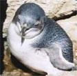 Lillico Penguin