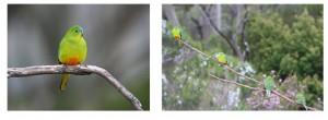 Orange Bellied Parrots