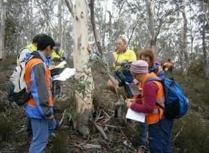 Keying out Eucalyptus tenuiramus - Photo: Magila Wright