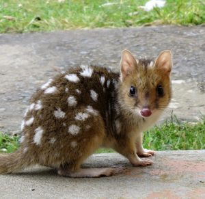 Quoll QS editted