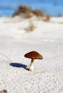 larapuna dune mushroom - KLetsch_20190804