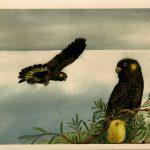 02 Ailsa Fergusson Black Cockatoos