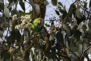 FODR Swift Parrot Kelcey Tier Sept 2020. Tom Sayers