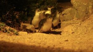Penguins_3