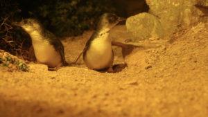 Penguins_4