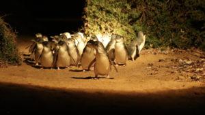 Penguins_7