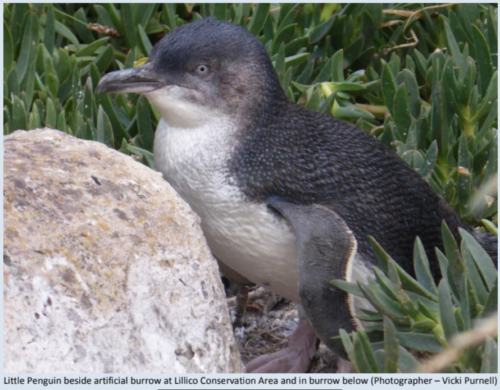 Little Blue Penguin from FOLP