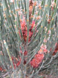 Allocasuarina crassa (Cape Pillar Sheoak)