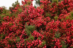 Cyathodes juniperina Pink berry