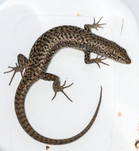 Occelated Skink - Carinascincus ocellatus