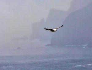 White-bellied sea eagle at Tasman Is